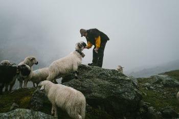 Schafe in den schweizer Bergen mit einem Schafhirten