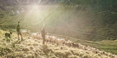 Der Hirte und sein Enkel treiben die Schafe vom Berg ins Tal